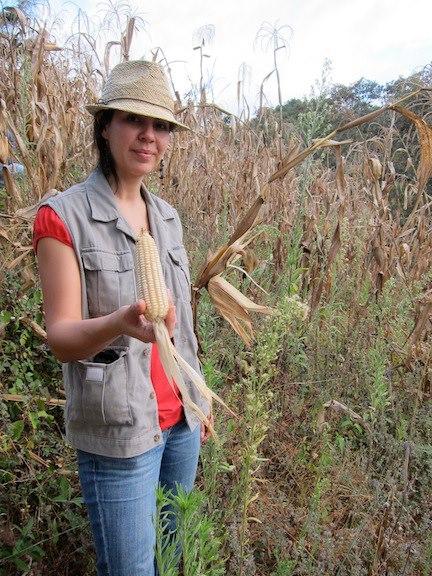 Maize harvest demonstration in a farm in San Raymundo, Guatemala (January 2019).